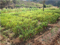 Paprika under irrigation in Mvera
